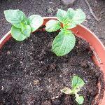 Очистки картофеля как удобрение и семена