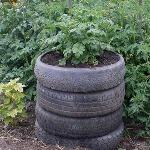 Выращивание картофеля в автомобильных шинах
