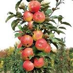 Отзыв о яблоне колоновидной