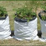 Выращивание картофеля из очистков в мешке