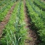 Огород на узких грядках (метод Миттлайдера)