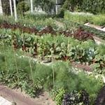 Виды традиционных посадок огородных культур