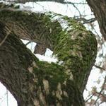 Уничтожение мха на плодовых деревьях