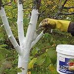 Побелка фруктовых деревьев