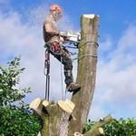 Как спилить дерево по частям?