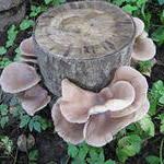 Выращивание грибов на  приусадебном участке